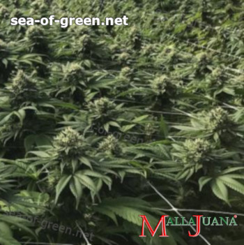 cannabis crops with MALLAJUANA in greenhouse
