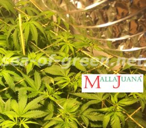 cannabis crops using MALLAJUANA