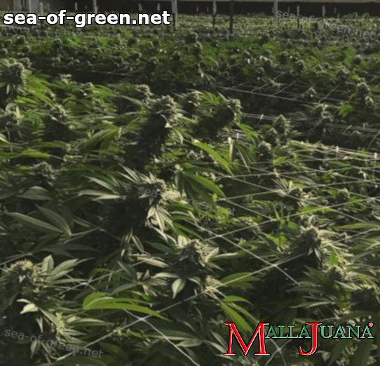 cannabis harvest using the mallajuana support net