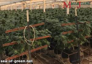 The sea of green method apply in cannabis crops
