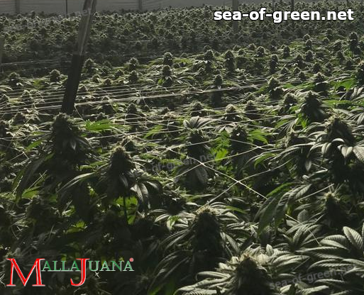 mallajuana net used for provide support to the cannabis crops