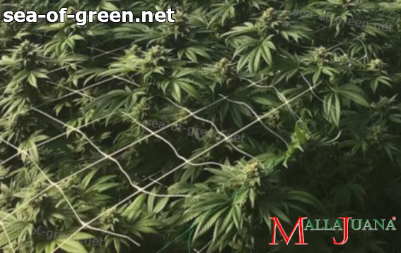 cannabis crops with the mallajuana support net