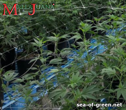 cannabis plants using mallajuana for support