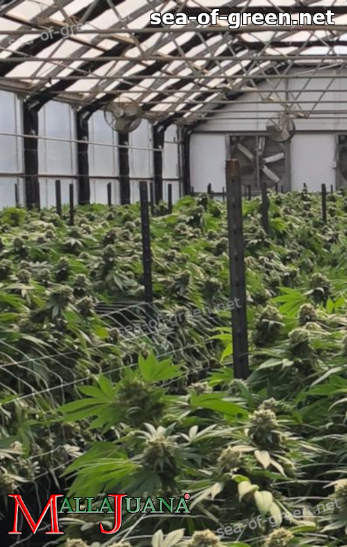 mallajuana installed for plants support