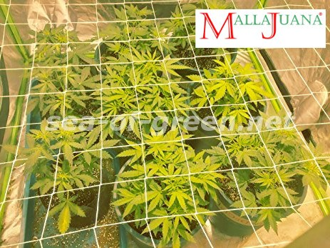 cannabis crops submitted to sog method
