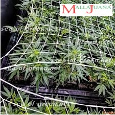 cannabis crops growing after to sog method