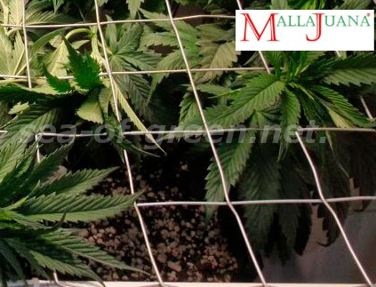 cannabis crops with the mallajuana