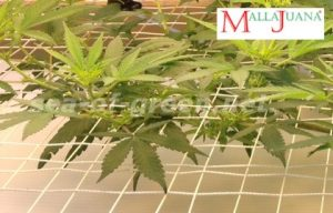 sheets of cannabis plant on the water